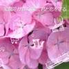 紫陽花が咲く頃に、君と恋をする - Single