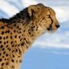 Leopard**