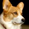 Welsh Corgis - Small Dog Series