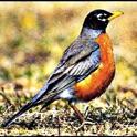 Робинс - Звуки для орнитологов icon