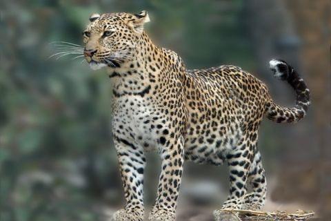 Leopard** screenshot 1
