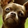 Chihuahua Book