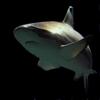 Sharks Encyclopedia