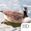 Backyard Birds of Canada Guide HD