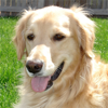 Golden Retriever Guide - Everything You Need To Know About Golden Retriever !