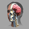 ザイゴット3D人体解剖-Zygote Media Group, INC.