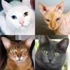 Кошки: Фото-викторина про популярные породы кошек