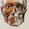 3D-Anatomie für den Künstler | v. 1.2