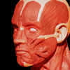 Muscular System 3D (anatomia)