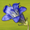 Rockies AlpineFlower Finder – a field guide to identify the wildflowers of the Rocky Mountains