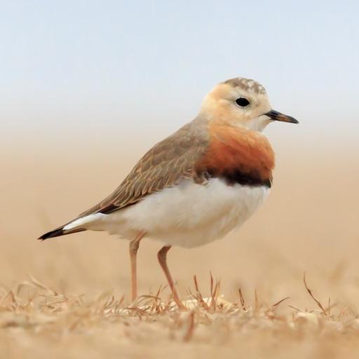 【鸟类百科】中国鸻鹬识别
