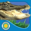 Alligator at Saw Grass Road - Smithsonian's Backyard