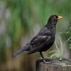 Blackbird Sounds - High Quality Bird Watching Sounds, Ringtones , Alerts and More sounds
