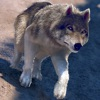 My Free Wolf Game Simulator For Kids