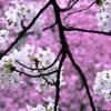 Sakura Flowers Catalog, Pink Cherry Sakura Trees
