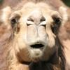 Talking Camel